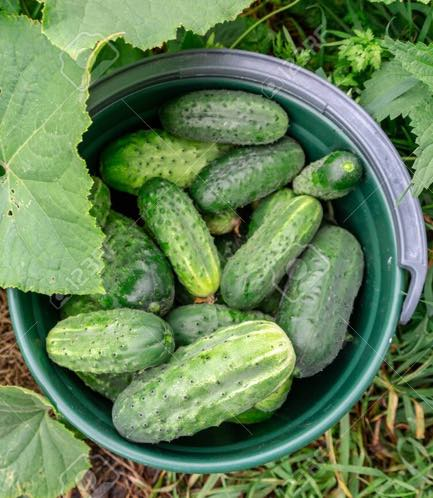 Cucumbers in bucket